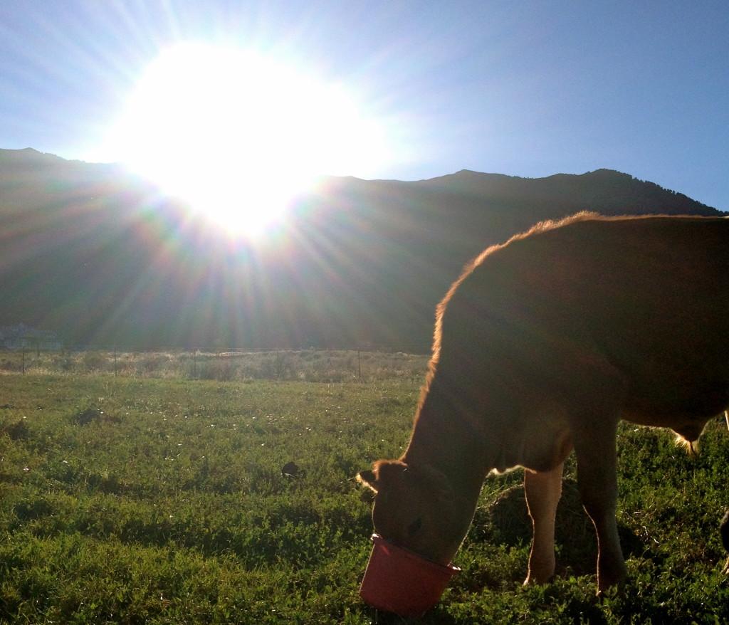 Raising beef steer