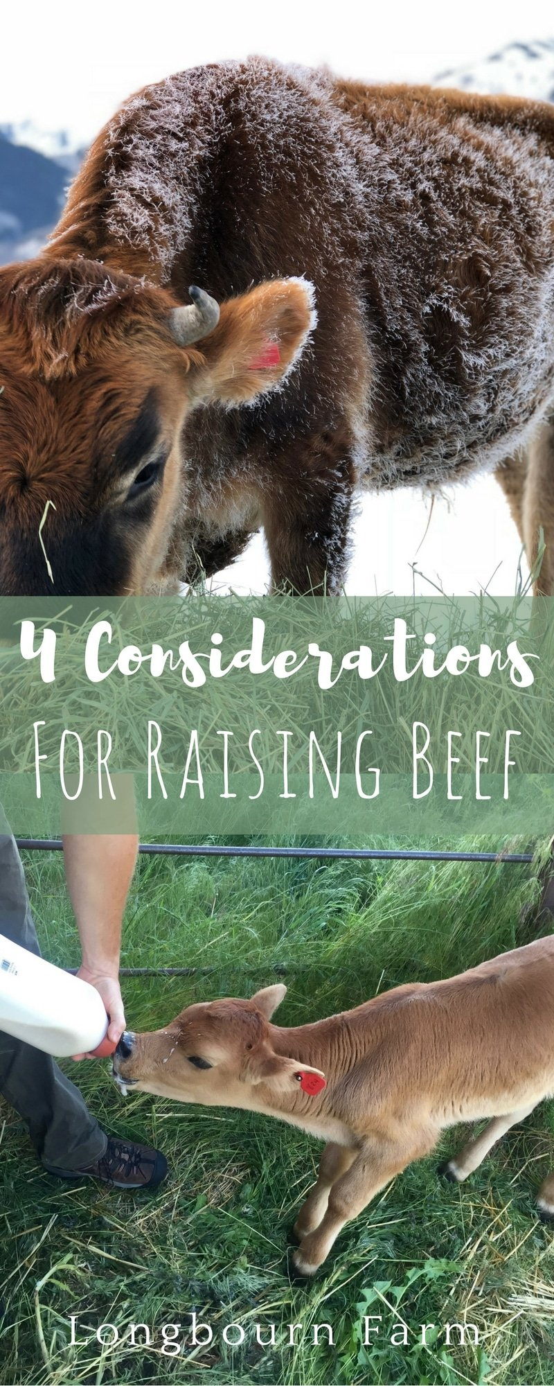4 Questions to ask when you are thinking of raising your own beef! There are important things to consider like breed, age, feed, and timeline. Read more!