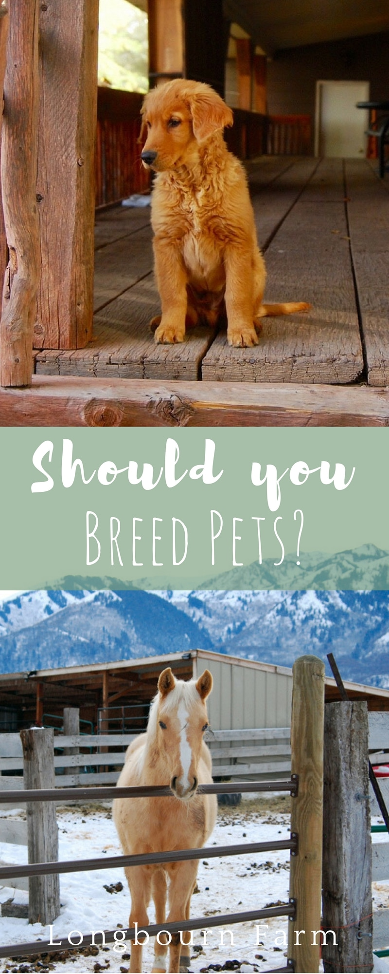 A good starting resource if you are considering breeding pets. Short run-down on genetics and the important things you should consider to be a good breeder. via @longbournfarm