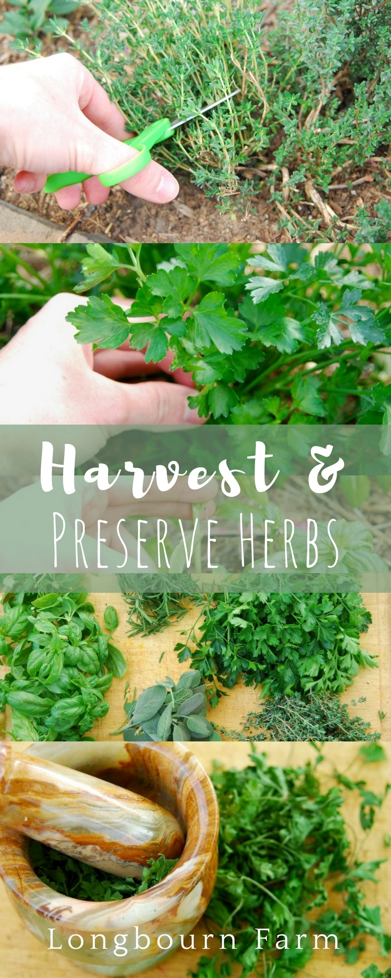 Learn how to harvest herbs and how to preserves them! A step-by-step tutorial on how to cut each herb so it will continue to grow and produce, along with a step-by-step guide to preserving your abundance of herbs.
