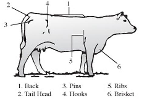 Beef Cow BCS