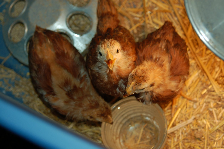 Ordering Chicks!