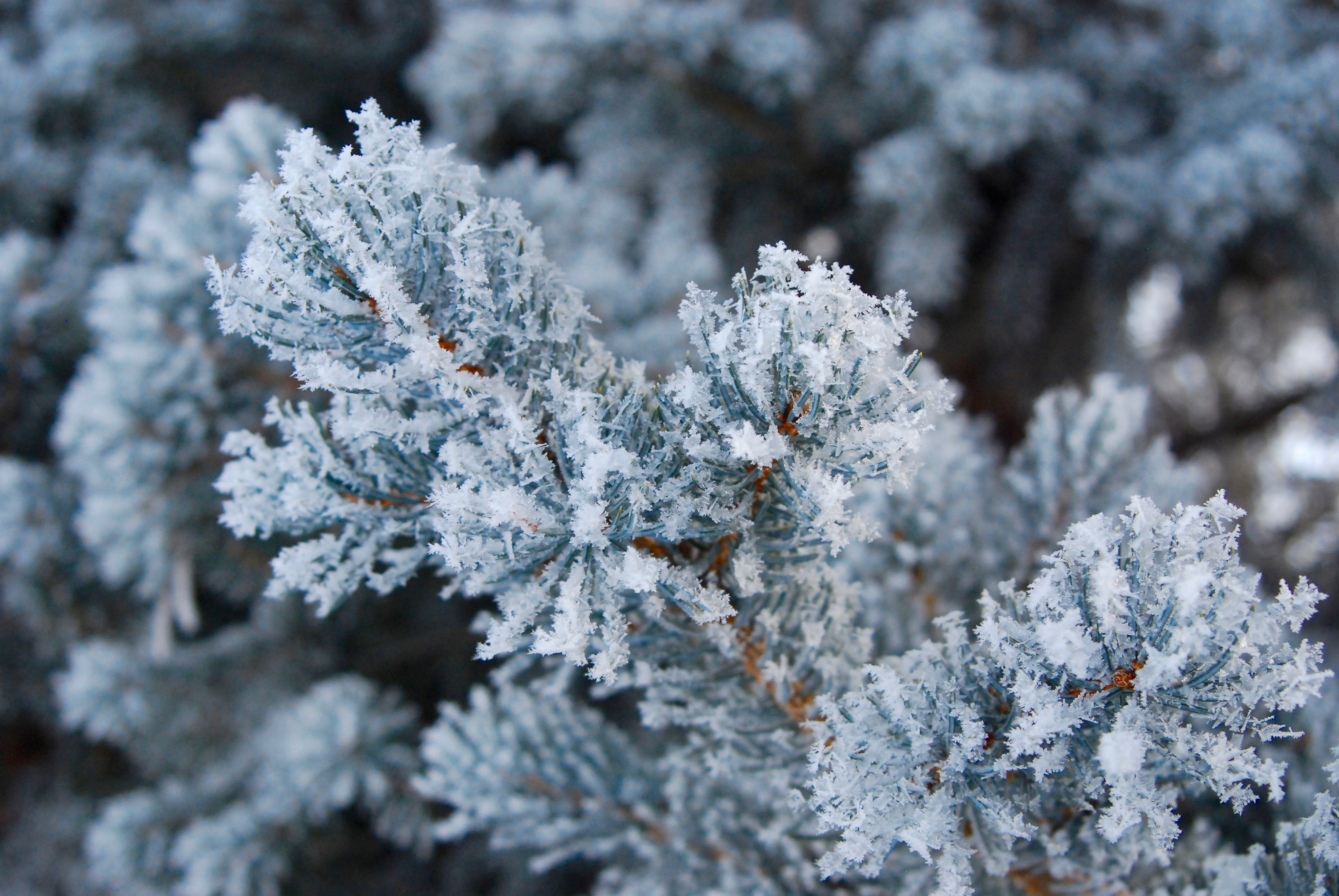 frost on a pine tree