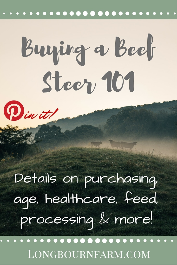 All the details you need on buying and raising a beef steer! This post covers things like age at purchase, castration and dehorning, and even what to do when your steer is ready for the freezer.