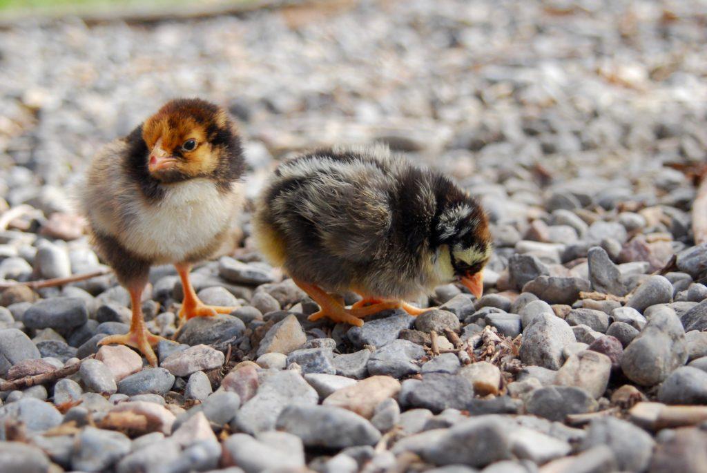 Laced wyandotte chicks