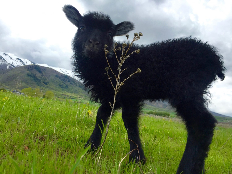 Young Icelandic lamb.
