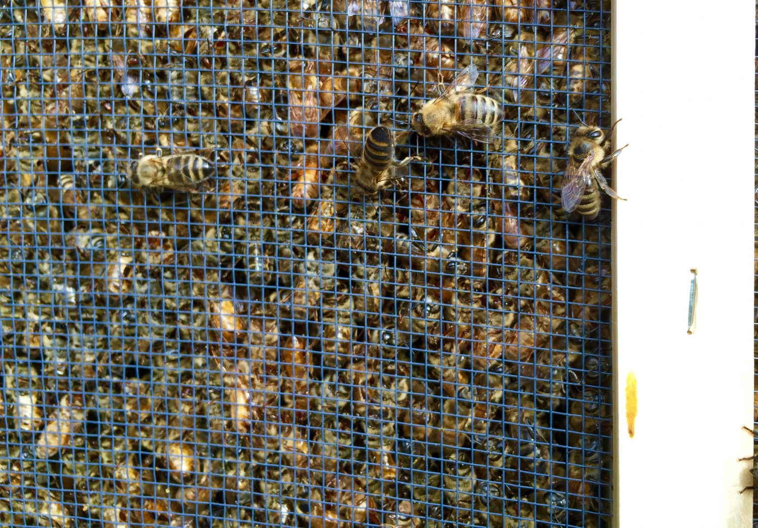 Bees in a transport cage.