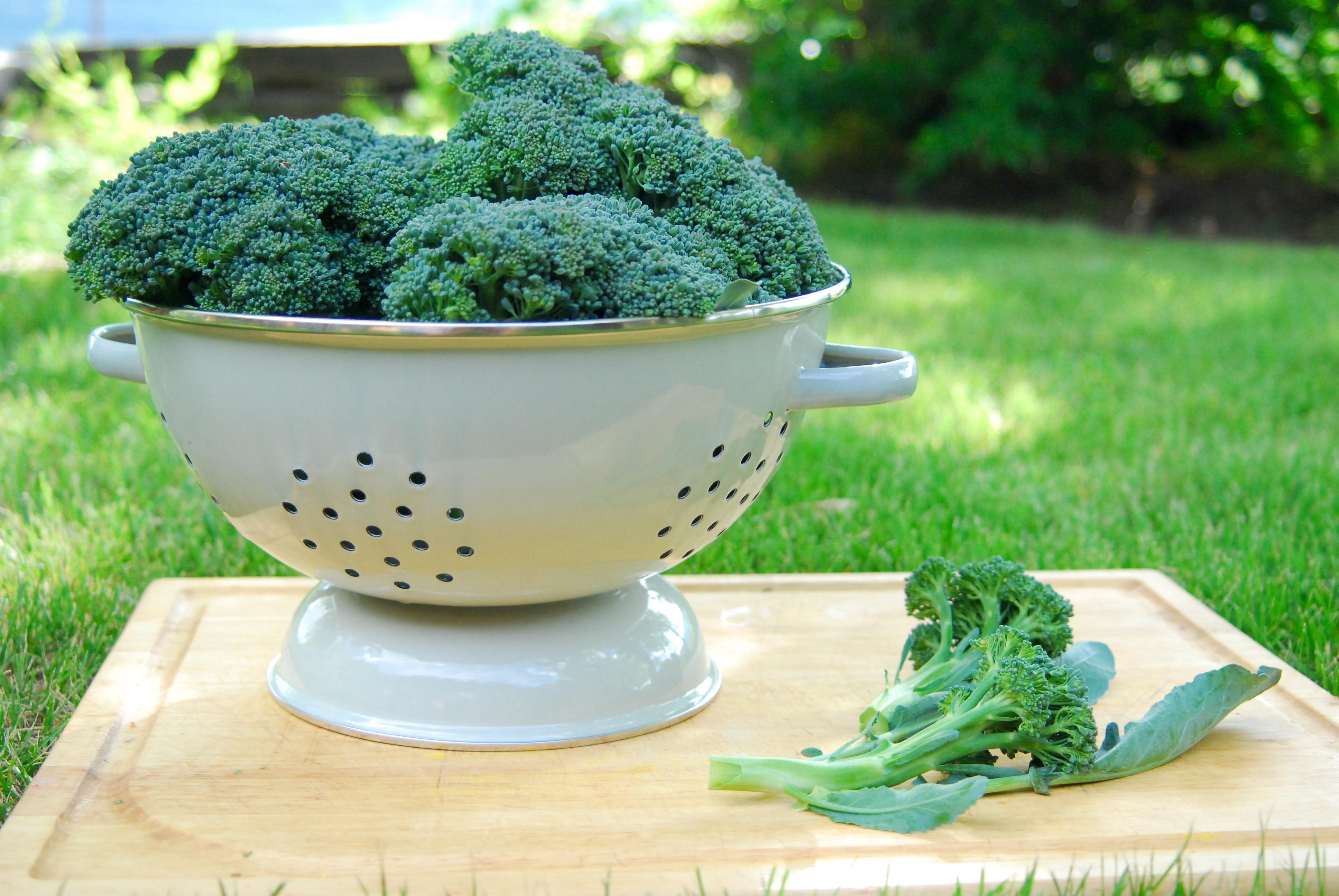 Broccoli harvest