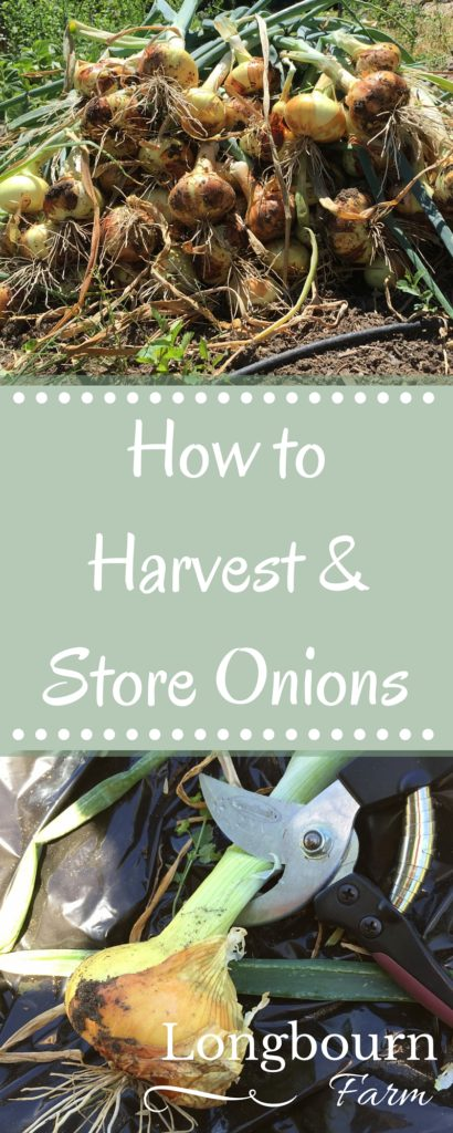 Harvesting onions is so easy, and storing onions is so easy too! Easy to follow steps so you can enjoy your harvest for months!