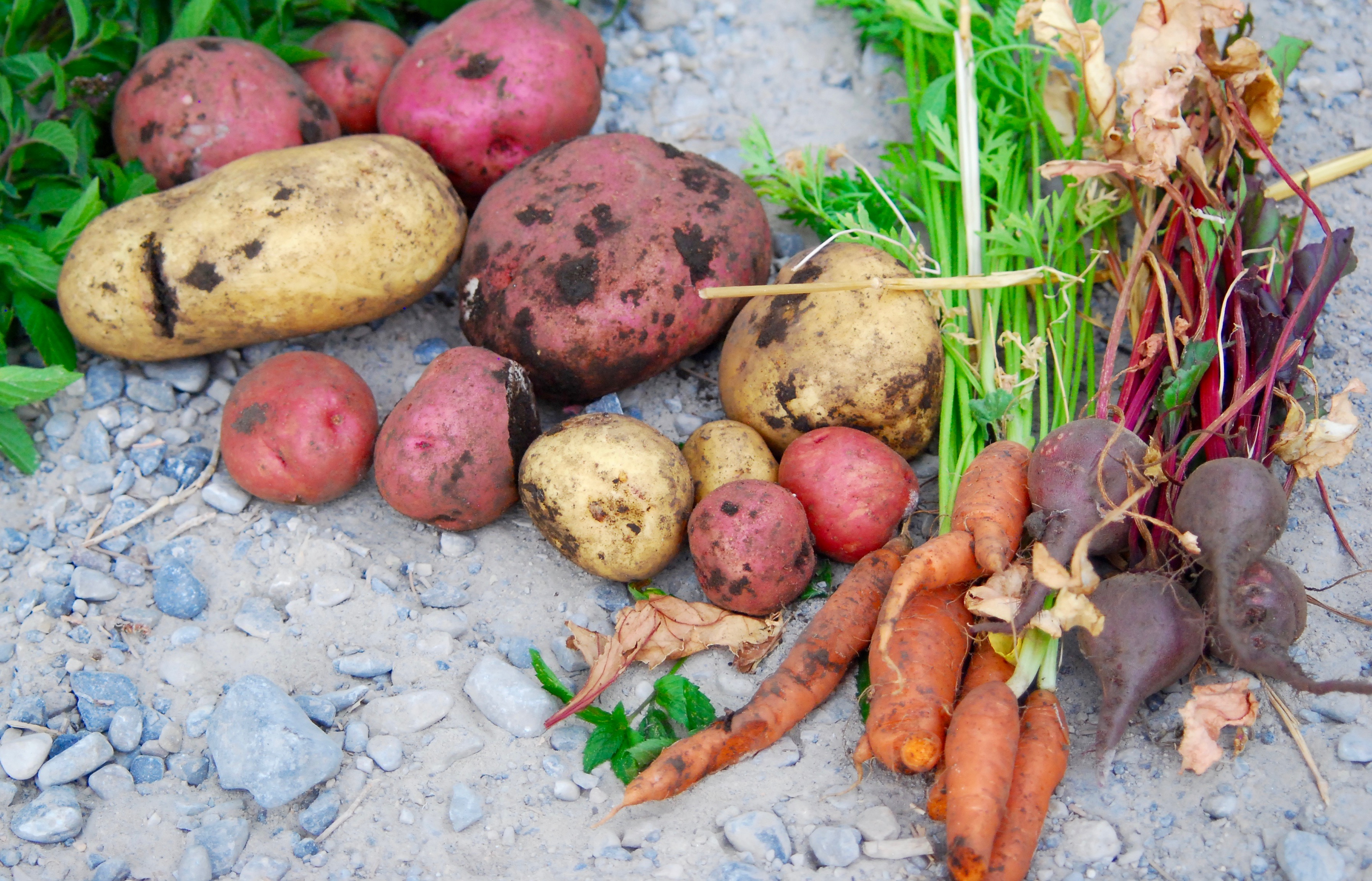 Potatoes, carrots, and beets from the garden 2016