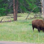 Buffalo! There are 2 managed herds in Custer State Park.