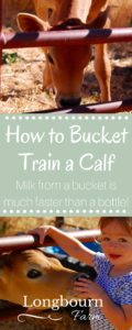 Learn how to bucket train a calf to make feeding time easier! It's easy and simple to do, just a few steps and your calf drinking from a bucket like a pro.