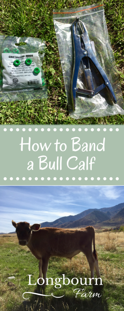Banding a bull calf is easy as long as you do it at the right time, with the right tools, and know a few little details. Check out this post for all the into you'll need!