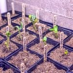 Squash and pumpkin seedlings in individual containers under grow lights- how to start seeds indoors.