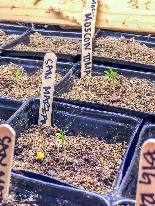 Sprouting seedlings for San Marzano tomatoes how to start seeds indoors.
