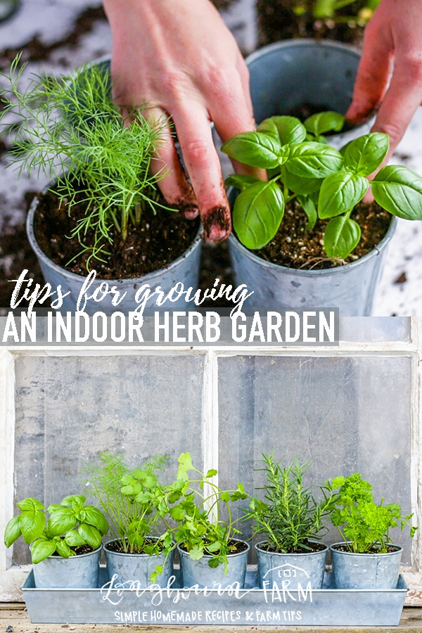 Growing herbs indoors is easy, follow these simple steps to make sure your herbs thrive and grow! Nothing is better than fresh herbs on a home-cooked meal, and growing your own is something everyone can do. #herb #garden #gardening #growingherbs #herbs #growing #plantingherbs #planting #plantingherbs #windowherbgarden #indoorherbgarden #basil #parsley #cilantro #rosemary via @longbournfarm