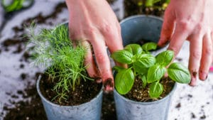 Tapping in herb plants to their planter.