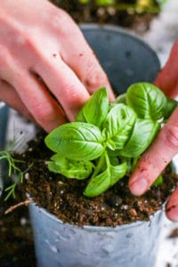 Putting additional soil around a basil plant.