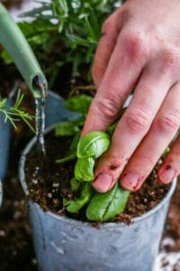 Watering in herbs into containers.