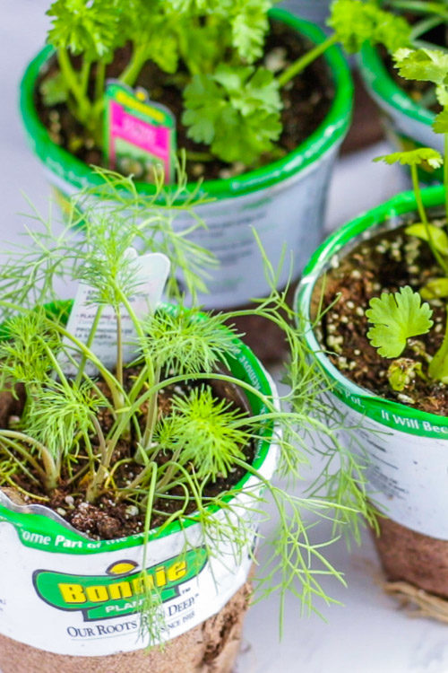 Herbs recently purchased from the store.