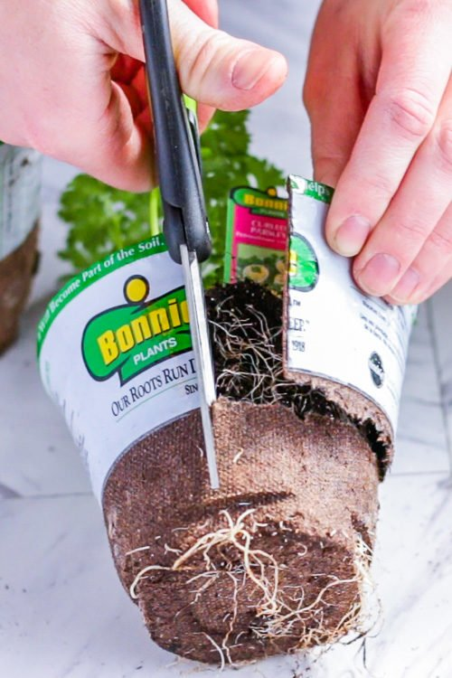 Cutting the container off of a store bought herb.