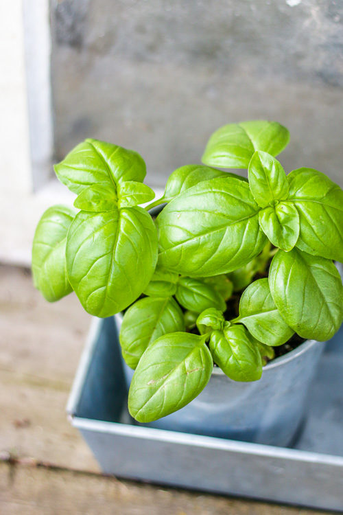Recently planted basil plant in a galvanized pot.