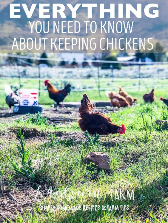 Learn everything you need to know about keeping your new flock alive, safe from predators, healthy, and disease free. You NEED to know this information, click now! #longbournfarm #chickens #keepingchickens #layinghens #hen #fresheggs #fresheggsdaily #raiselayinghens #keepingchickensforeggs #chickensforeggs