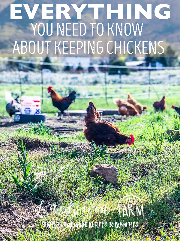 Learn everything you need to know about keeping your new flock alive, safe from predators, healthy, and disease free. You NEED to know this information, click now! #longbournfarm #chickens #keepingchickens #layinghens #hen #fresheggs #fresheggsdaily #raiselayinghens #keepingchickensforeggs #chickensforeggs via @longbournfarm