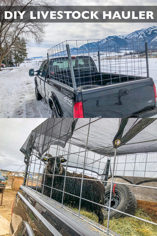 Save money by building your own DIY sheep trailer and livestock hauler! Large enough for multiple small animals and even a calf or two.#longbournfarm #sheep #goats #livestock #trailer #livestocktrailer #sheeptrailer #livestockhauler #goattote