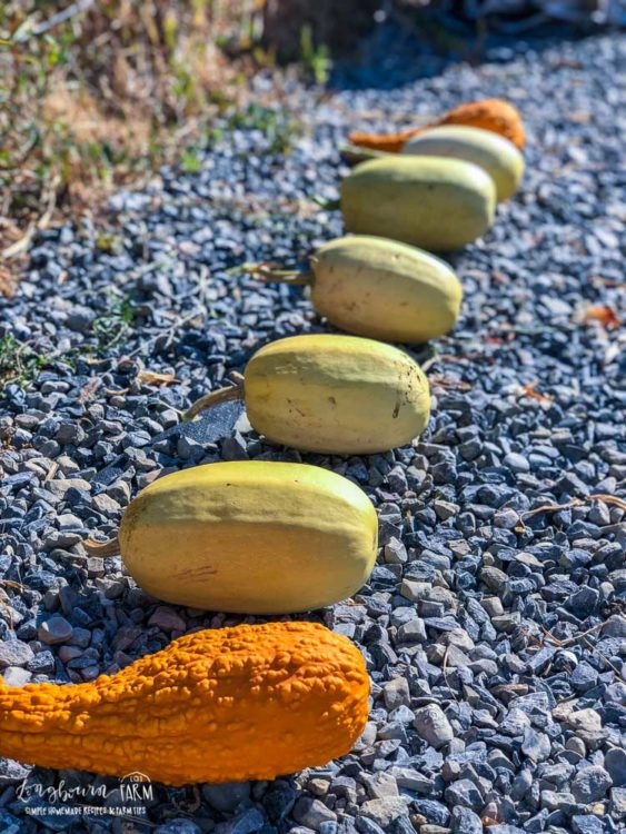 Winter squash set out for curing.