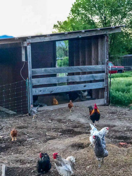 Chicken livestock shelter.