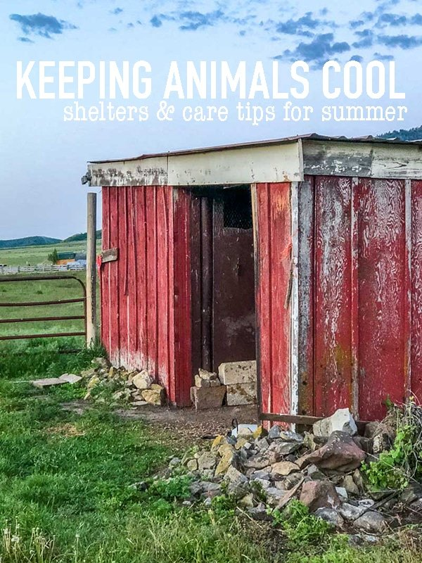 Keeping livestock cool in the summer is crucial for their health! Hot weather is harder on them than cool weather, learn how to keep them cool! #livestock #cow #cattle #sheep #shepherd #goats #horses #chickens #hotweather #animalhealth #animalhusbandry #vetcare #hobbyfarm #hobbyfarming #smallfarm #smallfarming