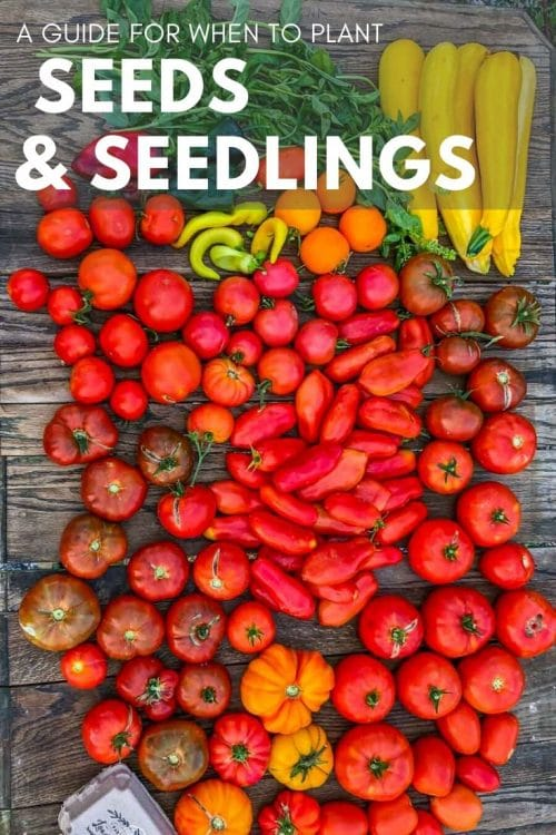 When to plant certain garden seeds or seedlings is one of the most common questions I get! It can be confusing and disappointing if you get it wrong. Get all the information you need here!
